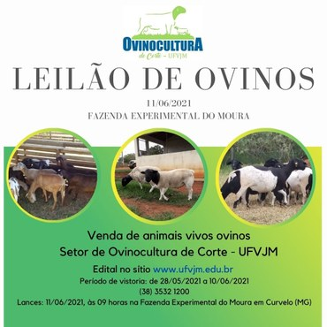 leilão de animais ovinos